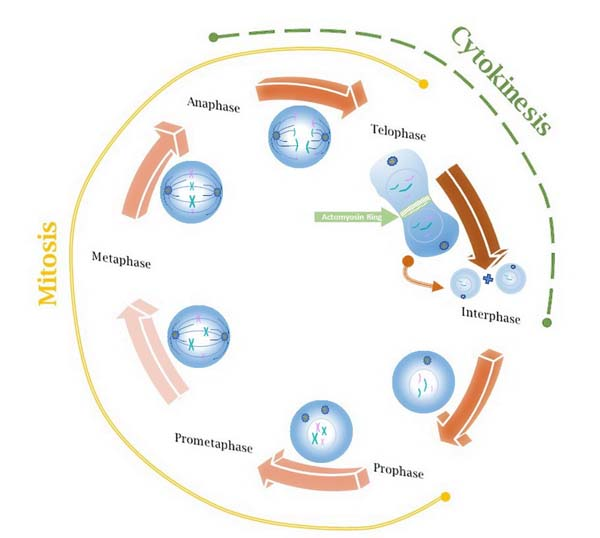 Cell cycle with images